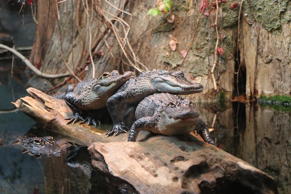 Alligator, Swimming, Marsh, Reptile, Swamp, Animal