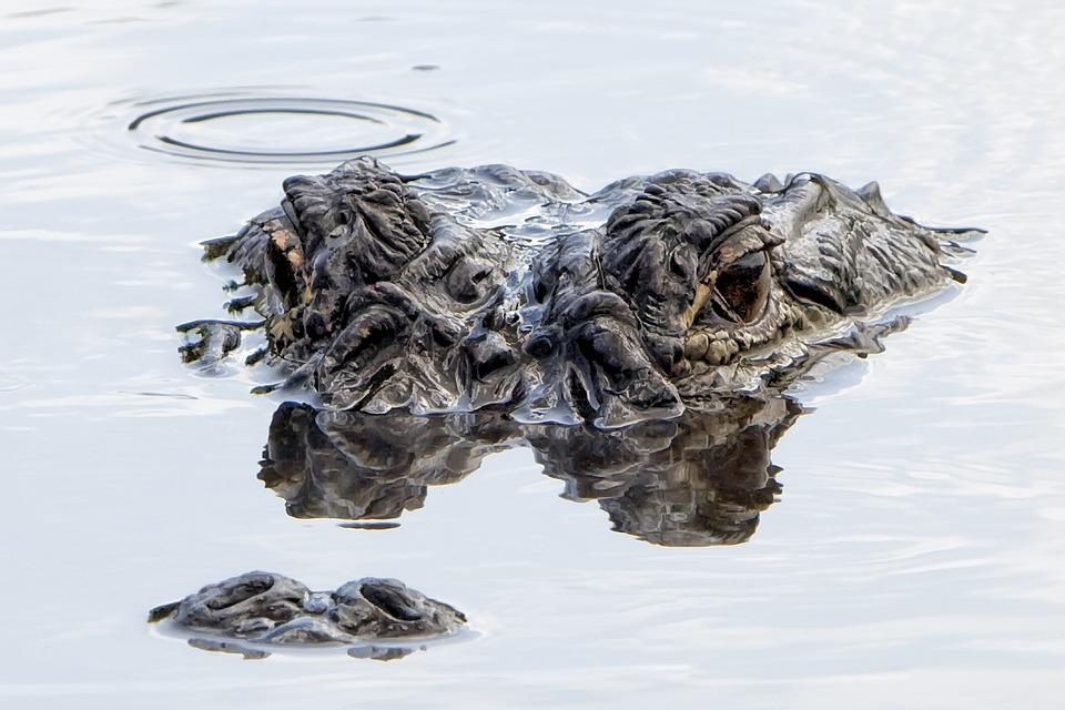 Alligator, Water, Submerged, Reptile, Wildlife, Hunter