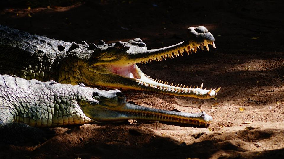 Reptile, Crocodile, Wildlife, Nature, Alligator, Water