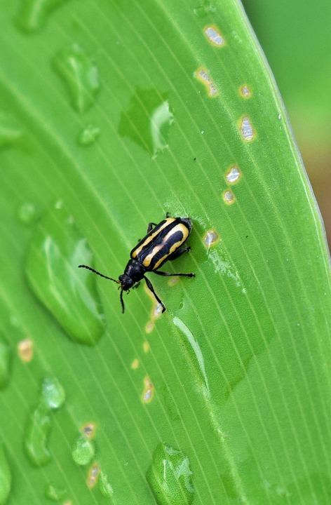 Beetle, Flea Beetle, Alligatorweed Flea Beetle, Bug