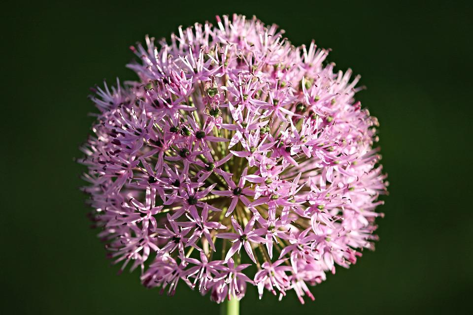 Ornamental Onion, Allium, Blossom, Bloom, Garden Plant
