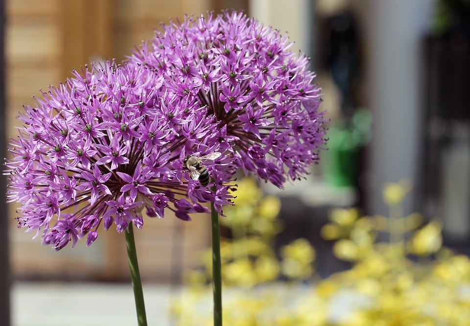Allium, Blossom, Bloom, Incomplete, Nature, Leek