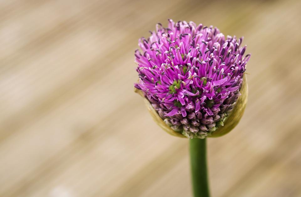 Ornamental Onion, Allium Stratos, Allium, Violet