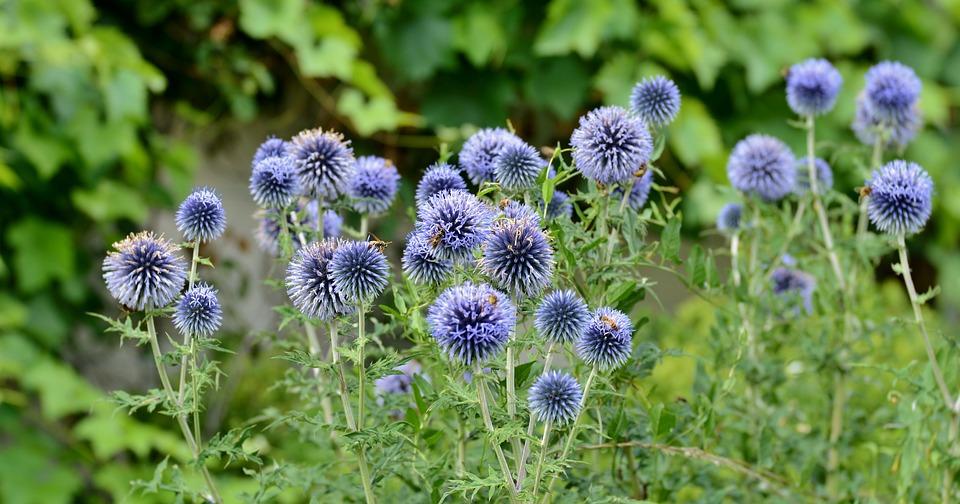 Alliums, Flowers, Summer, Blue, Spherical, Flora