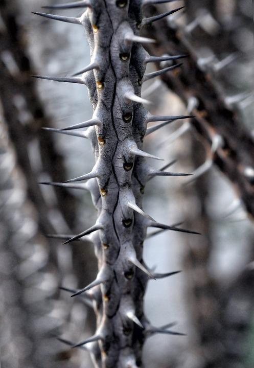 Alluaudia Procera, Spice, Plant, Branch, Thorny