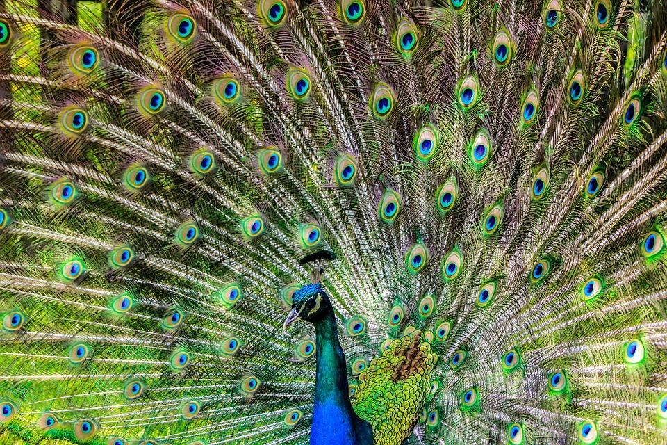 Peacock, Pen, Alluring Yet, Lure, Bird