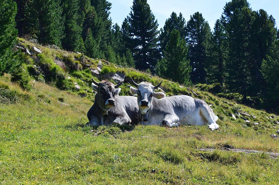 Cow, Alm, Tyrol, Austria, Love