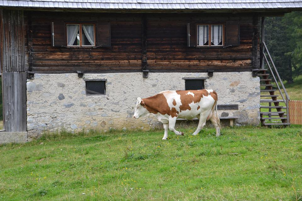 Alm, Cow, Pasture, Beef, Nature, Agriculture, Meadow