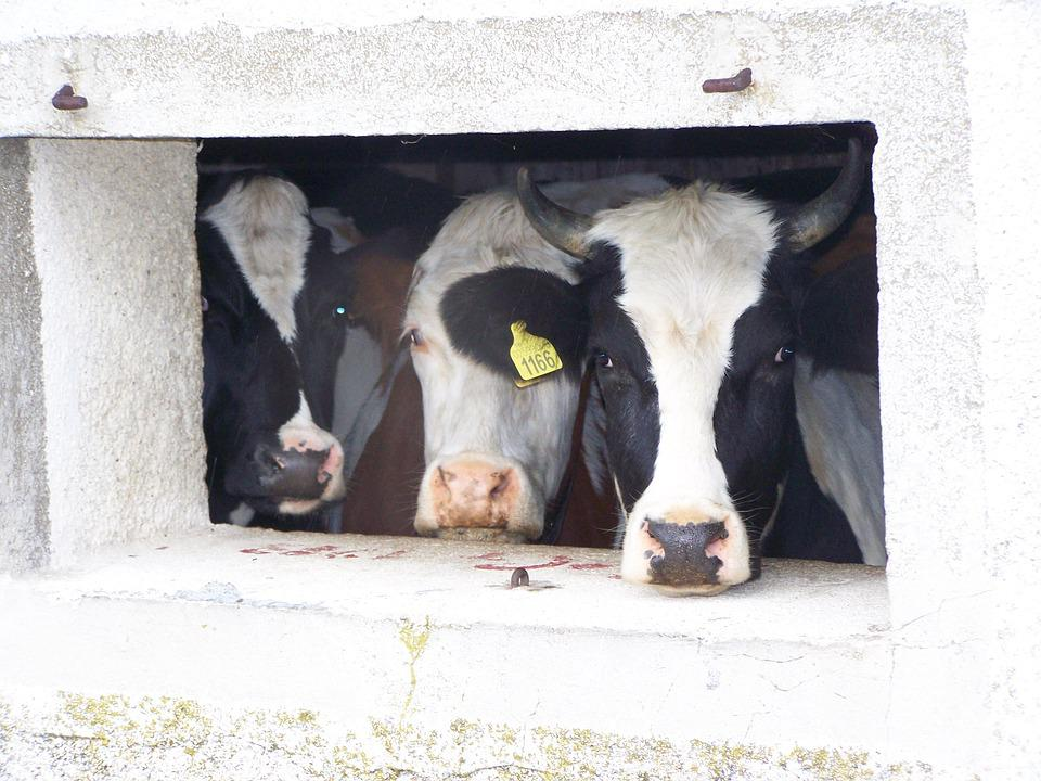 Cows, Alm, Window, Cow, Animals, Mountain