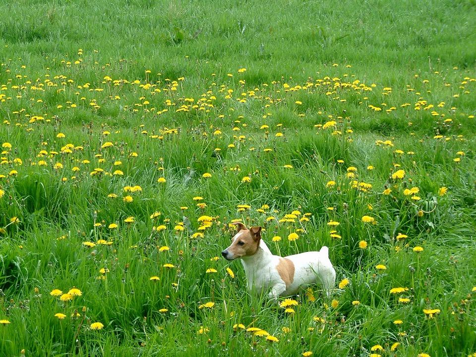 Jack Russel, Grass, Almere, Dandelions, Dog