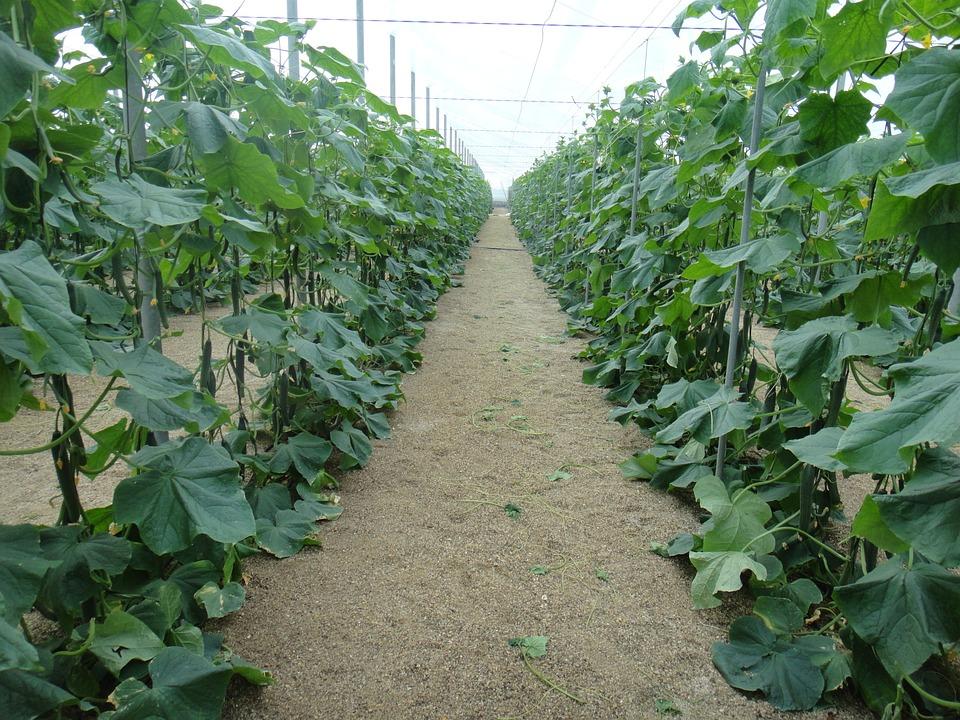 Cucumbers, Almeria, Spain