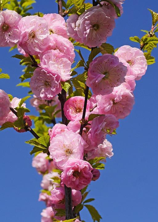 Almond Blossom, Spring, Flowering Twig, Almond Tree