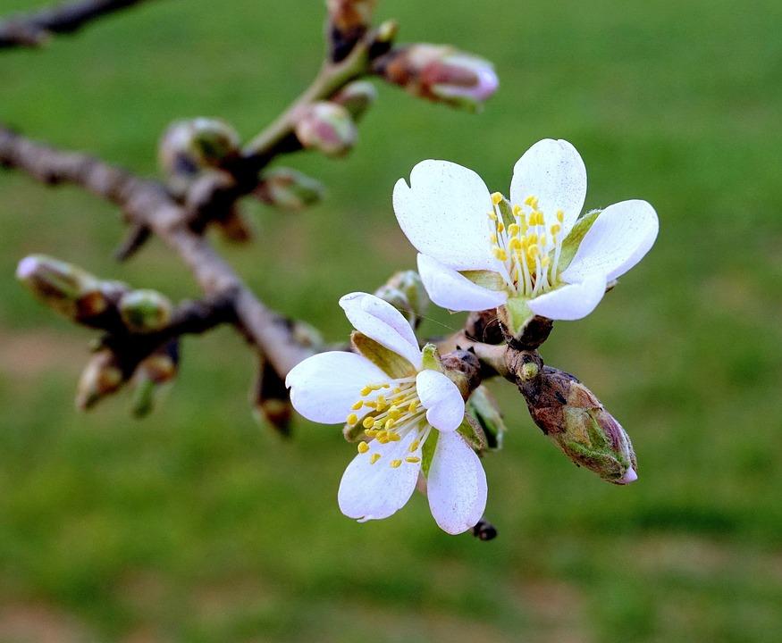 Almond Flowers, Flowering, Almond Branch In Bloom