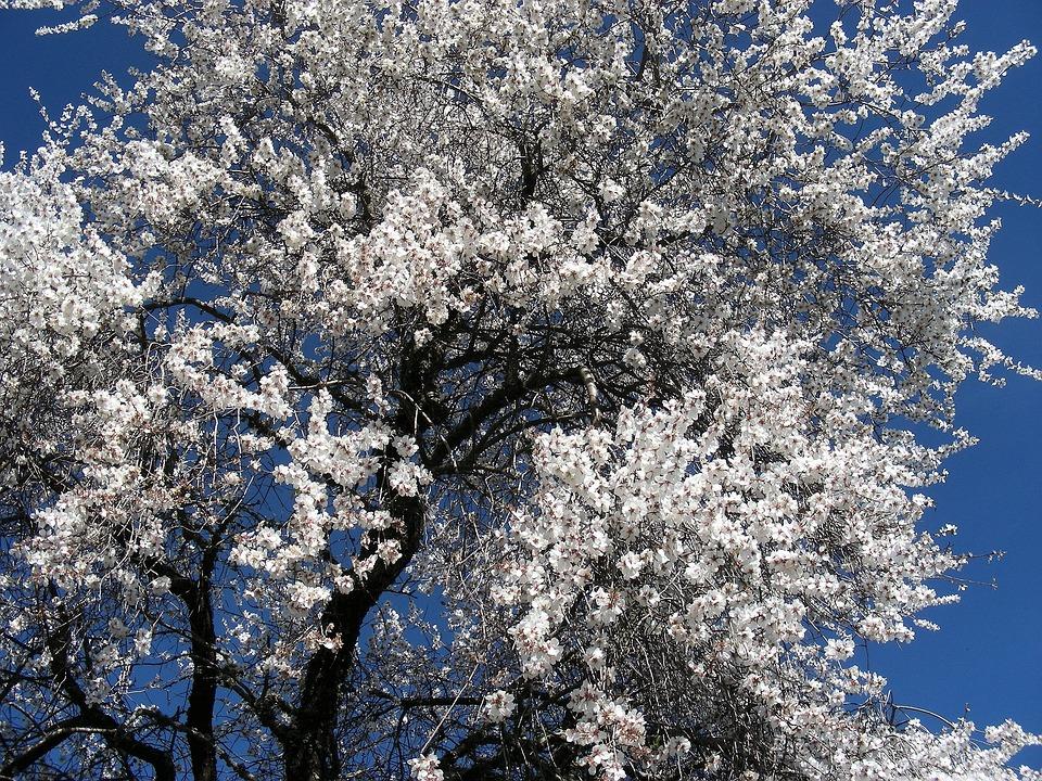 Almond, Flower, Alentejo, Nature
