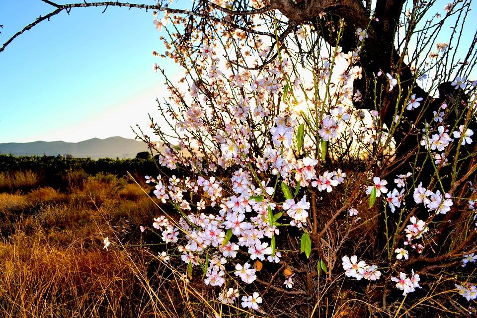 Almond, Blossom, Flora, Nature, Landscape, Scenic