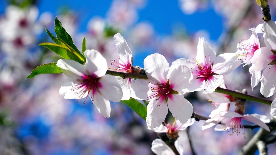 Flowers, Almond Tree, Almond, Mandelbaeumchen