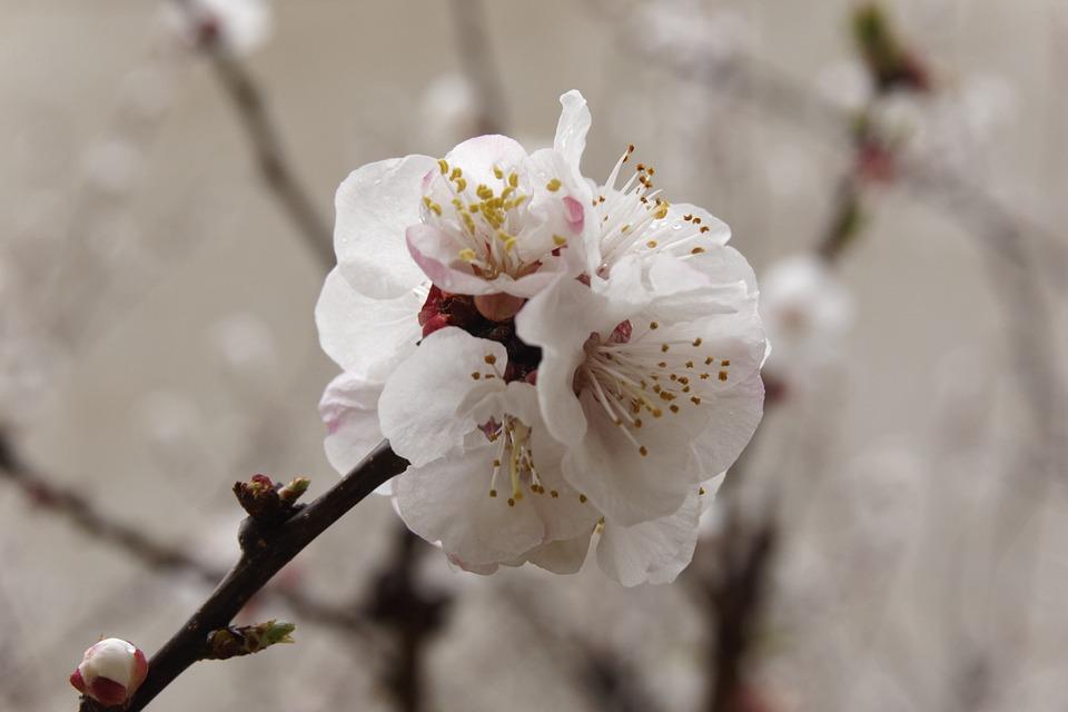Almond Tree, Nature, Almond, Tree, Springtime