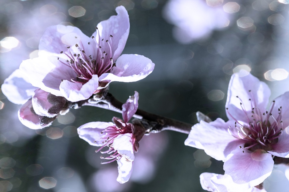 Almond Tree, Blossom, Spring, Flower, Nature, Pink