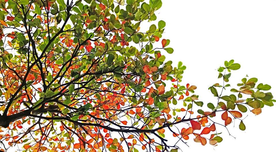 Terminalia Catappa, Tree, Branch, Tropical, Almond