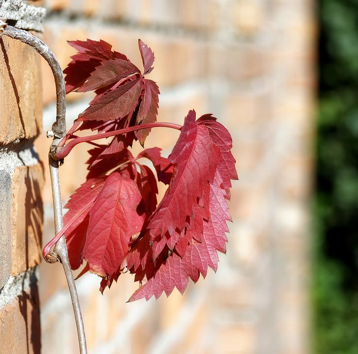 Leaves, Red, Plant, Clip, Wall, Brick, Almost, Twig