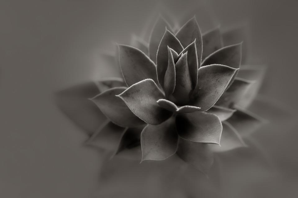 Aloe, Plant, Black And White, Detail, Cactus, Green