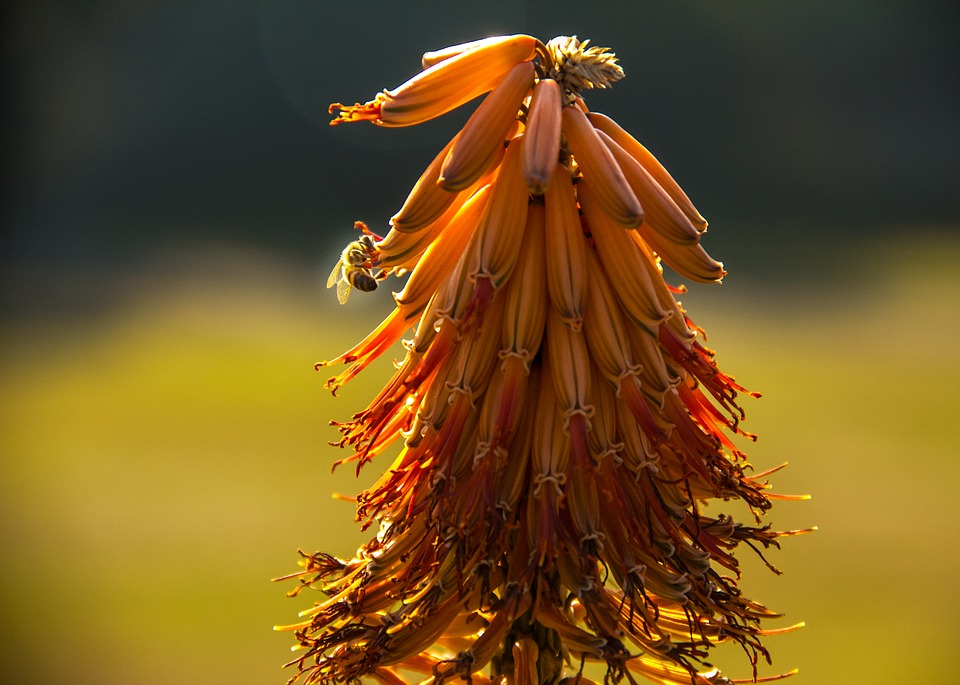 Bee, Aloe, Flower