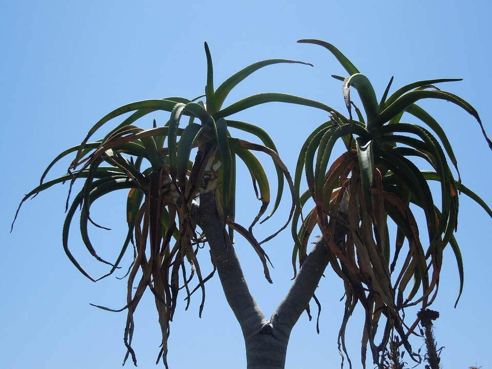 Double-headed, Nature, Plant, Green, Leaf, Leaves, Aloe