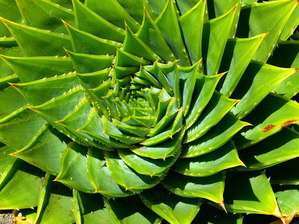 Aloe, Succulent, Aloe Polyphylla, Spiralaloe, Leaves