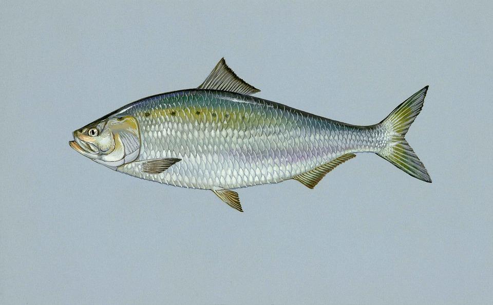 Sapidissima, Alosa, Fish, Shad, American, Fishes