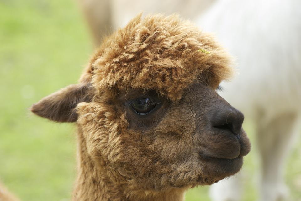 Cute, Young, Alpaca, Brown, Head, Face
