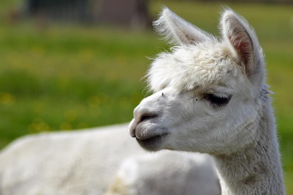 Alpaca, Farm, Wool, Fluffy, White, Cute