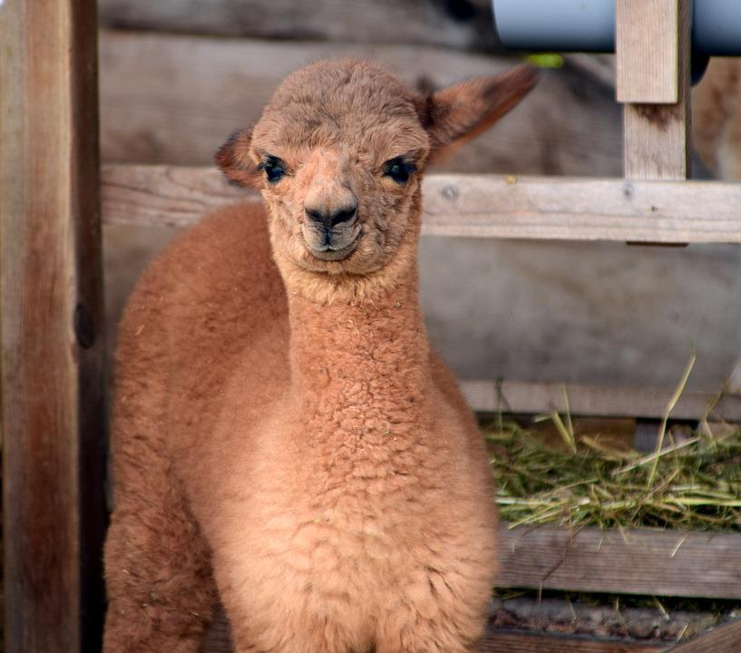 Alpaca, Head, Animal, Fluffy, Furry, Fur