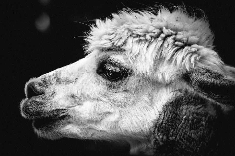 Alpaca, Pako, Andes, Animal, Wool, Mammal, Animal World