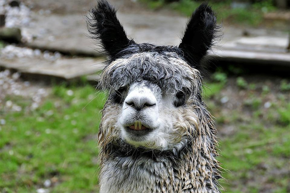 Alpaca, Head, Mammal, Wool, Paarhufer, Lama