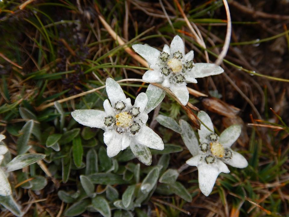 Edelweiss, Alpine Flower, Close, Alpine Edelweiß