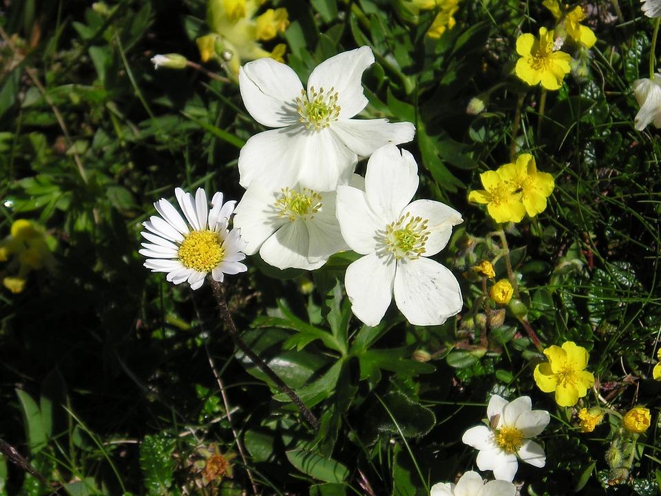 Blossom, Bloom, Alpine Flower, Alpine Flora, White