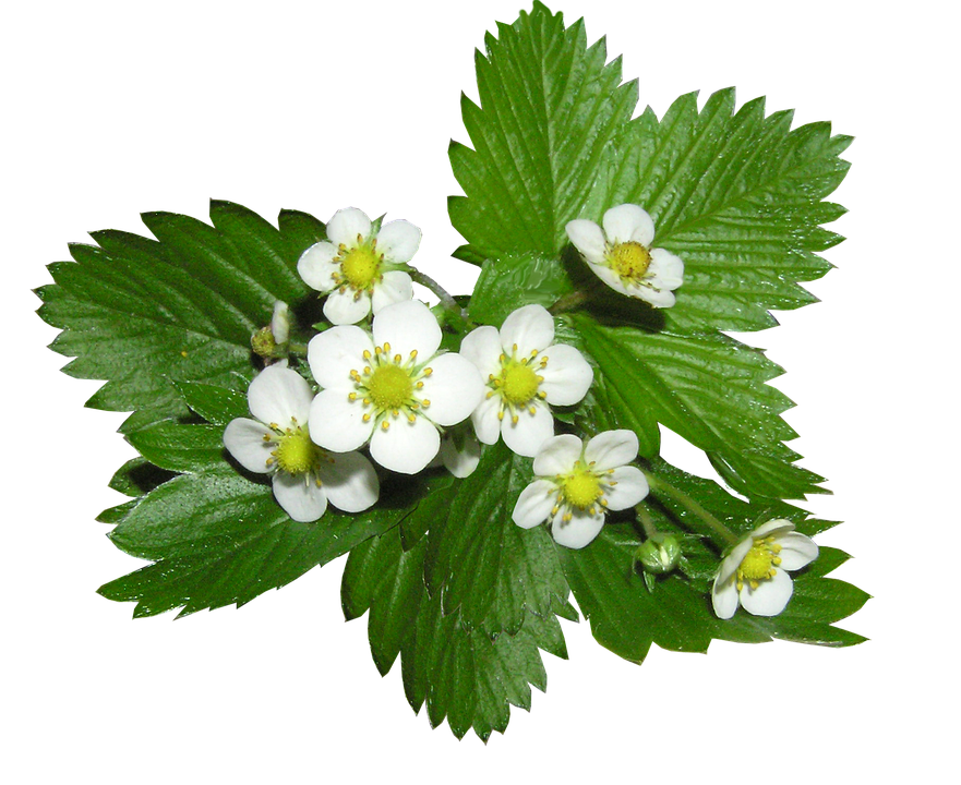 Strawberry, Flowers, Alpine, Ground Cover Plant