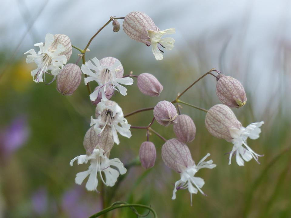 Alpine Flowers, Bells, Nature, Ribs, White Flowers