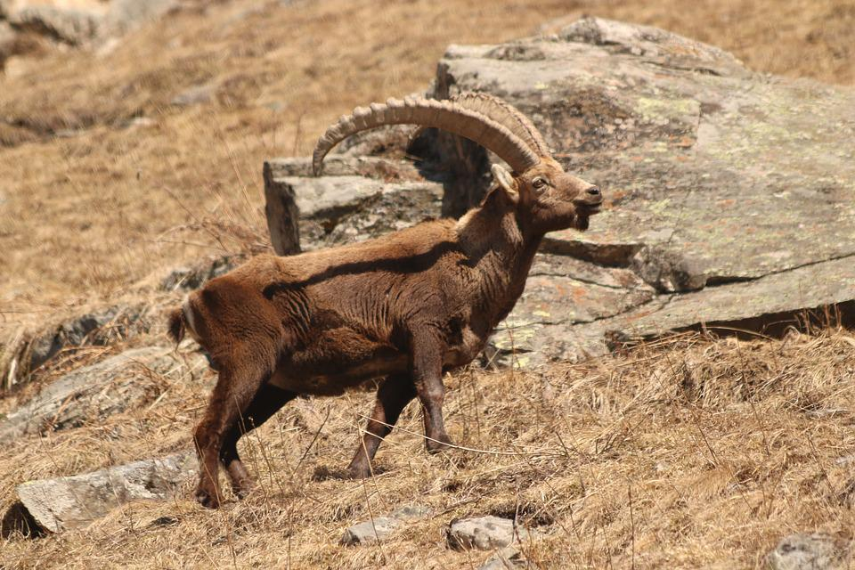 Capricorn, Alpine, Animal, Alpine Ibex, Horns, Ibex