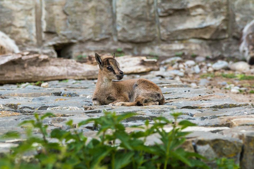 Alpine Ibex, Capricorn, Young, Animal, Horns, Alpine