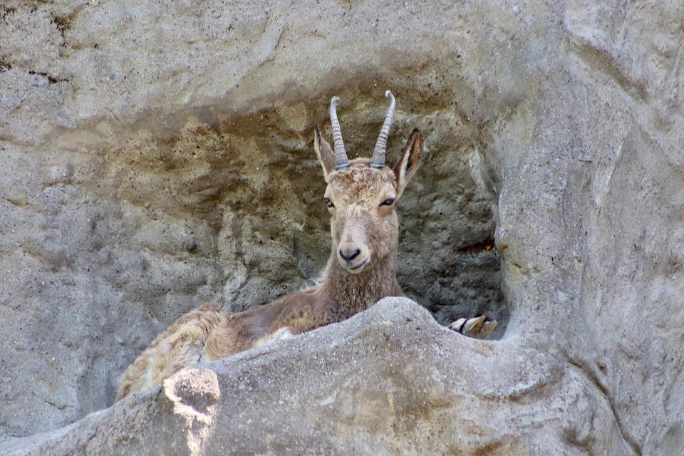 Stone Goat, Capricorn, Alpine Ibex, Female, Horns