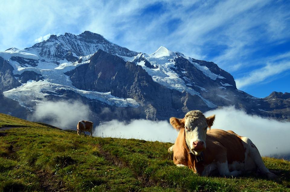Alpine, Switzerland, Mountains, Landscape, Nature, Cow