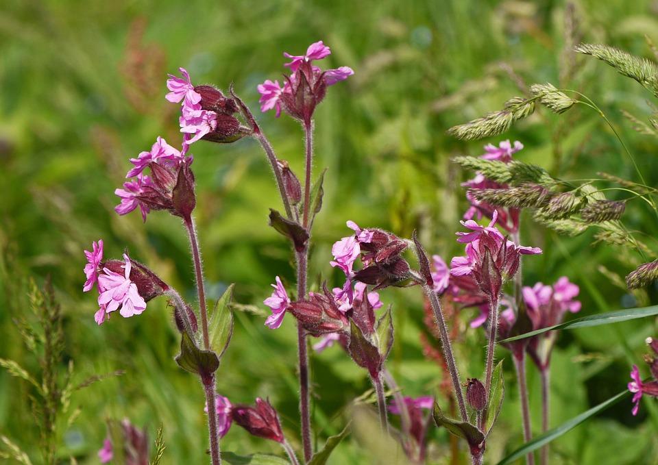 Mountain Flowers, Alpine Meadow, Alpine, Campion