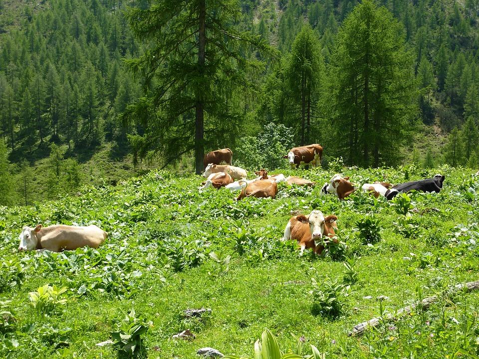 Cows, Alm, Rest, Alpine Meadow, Graze, Summer