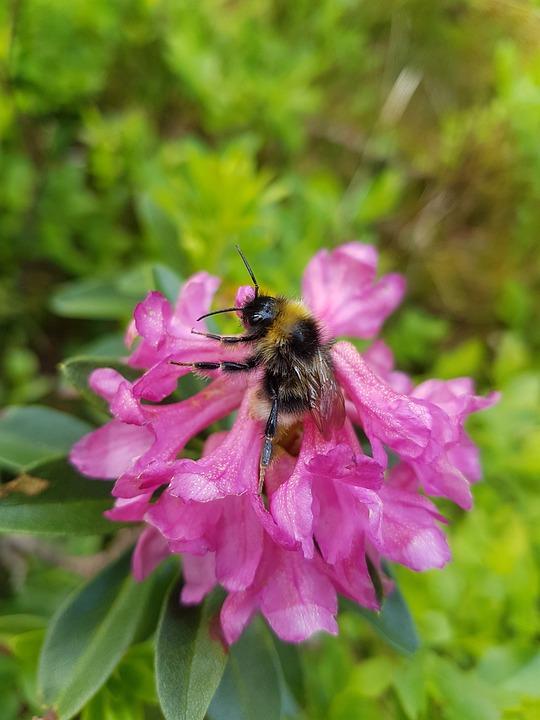 Alpine Rose, Flower, Alpine Flower, Alpine Plant