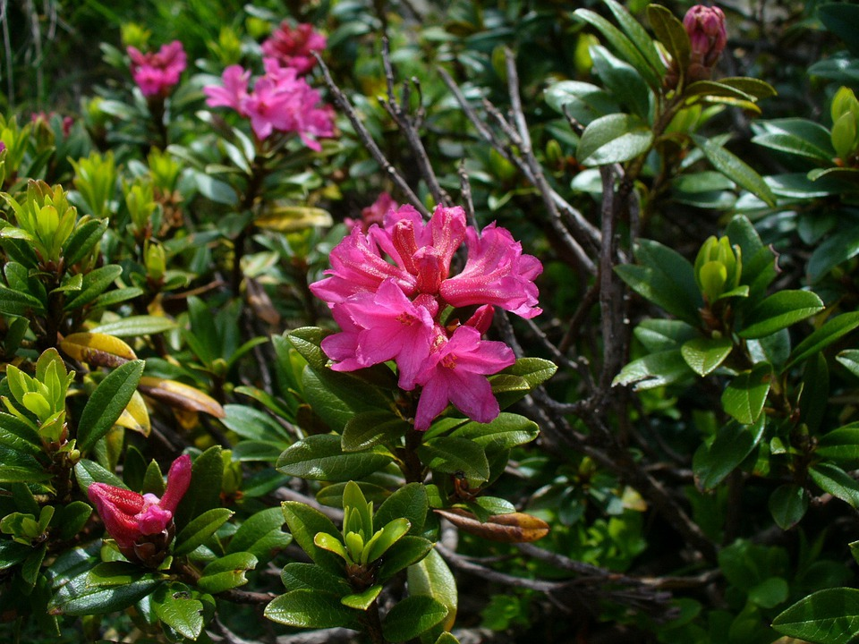 Alpine Roses, Almenrausch, Flowers