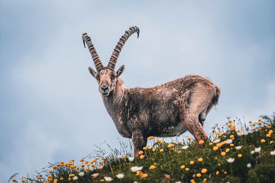 Capricorn, Alpine, Switzerland, Mountains, Hiking, Horn