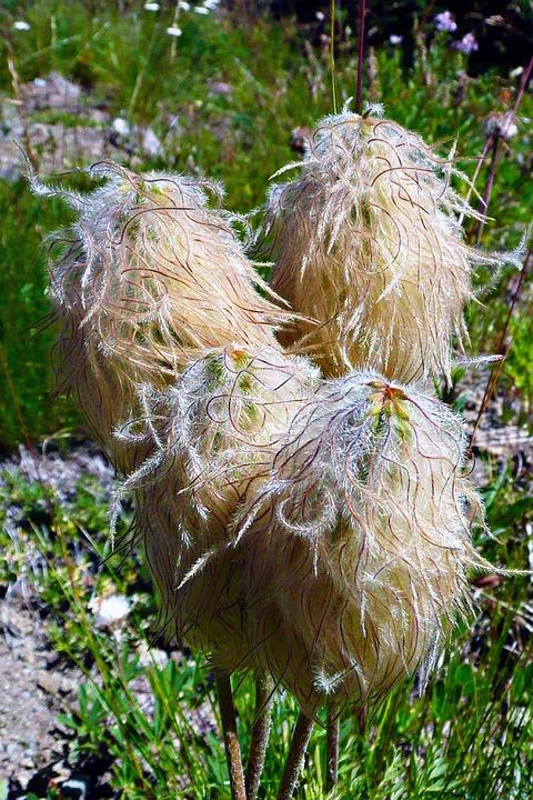 Wildflowers, Meadow, Alpine, Nature, Plant, Alpine Walk