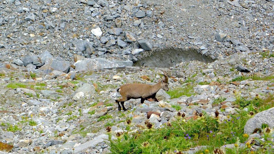 Alps, Chamois, Mountain, Wild Animals, Browse, Fauna