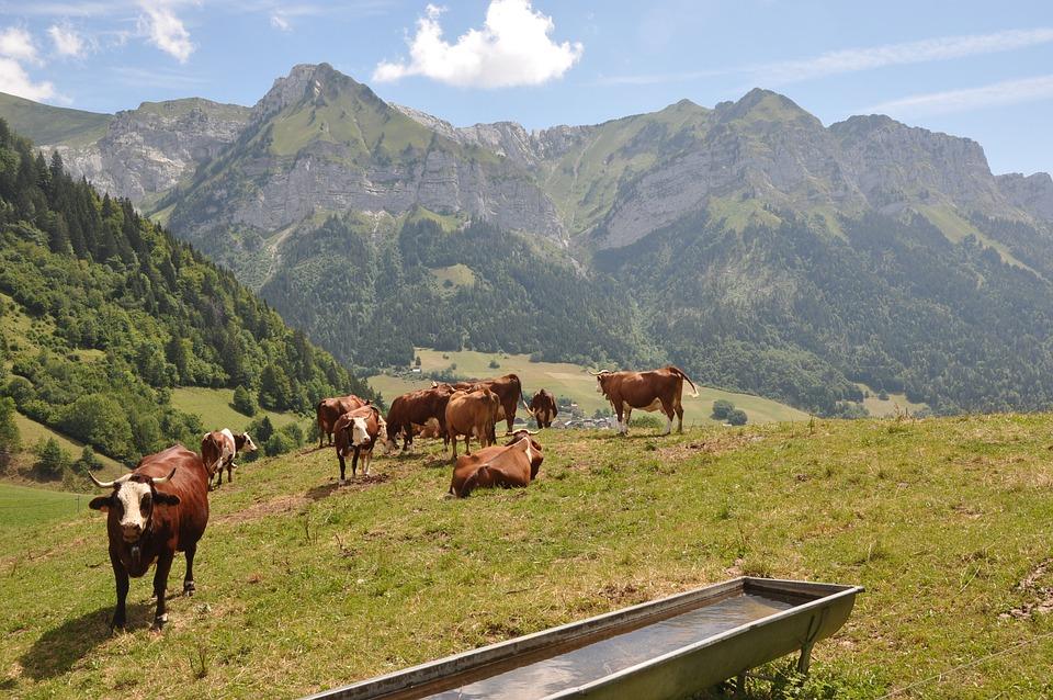 Alps, Cows, Mountain, Meadow, Mountain Meadow